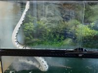 Ball Python Reptiles for sale in Peoria, AZ 85383, USA. price: NA