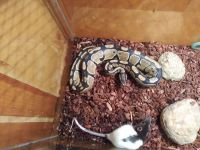 Ball Python Reptiles for sale in Somerset, KY 42503, USA. price: NA