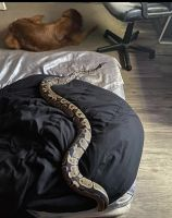 Ball Python Reptiles for sale in 11587 119th Terrace N, Largo, FL 33778, USA. price: NA