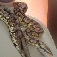 Ball Python Reptiles for sale in Manchester, NH 03103, USA. price: NA