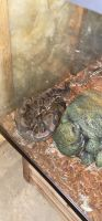 Ball Python Reptiles for sale in La Crescent, MN 55947, USA. price: NA
