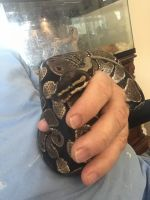 Ball Python Reptiles for sale in Cathedral City, CA, USA. price: NA