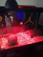 Ball Python Reptiles for sale in Tampa, FL, USA. price: NA