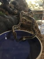 Ball Python Reptiles for sale in Aurora, CO 80013, USA. price: NA