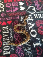 Ball Python Reptiles for sale in Canton, GA 30115, USA. price: NA
