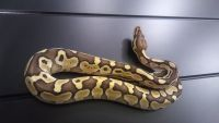Ball Python Reptiles for sale in St. Petersburg, FL, USA. price: NA