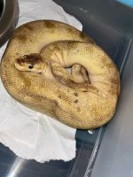 Ball Python Reptiles for sale in Elsmere, DE 19805, USA. price: NA