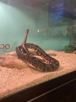 Ball Python Reptiles for sale in Bardstown, KY 40004, USA. price: NA