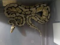 Ball Python Reptiles for sale in Roane County, TN, USA. price: NA