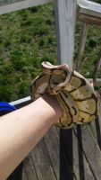 Ball Python Reptiles Photos