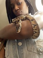 Ball Python Reptiles for sale in Las Vegas, NV, USA. price: NA