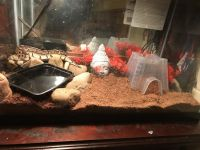 Ball Python Reptiles for sale in Bryan, TX, USA. price: NA