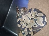 Ball Python Reptiles for sale in San Diego, CA 92154, USA. price: NA