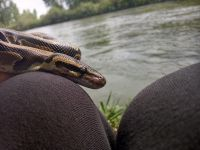 Ball Python Reptiles for sale in Hermiston, OR, USA. price: NA