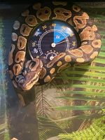 Ball Python Reptiles for sale in St Robert, MO, USA. price: NA