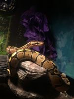 Ball Python Reptiles for sale in Louisville, KY, USA. price: NA