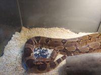 Ball Python Reptiles for sale in Newton, IA 50208, USA. price: NA