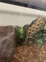 Ball Python Reptiles for sale in Las Vegas, NV 89129, USA. price: NA