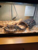 Ball Python Reptiles for sale in Las Vegas, NV, USA. price: NA