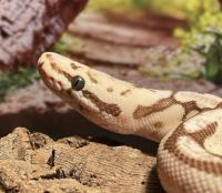 Ball Python Reptiles for sale in Bartow, FL, USA. price: NA