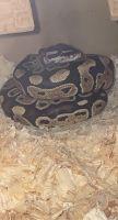 Ball Python Reptiles for sale in Nashville, TN, USA. price: NA