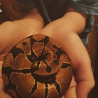 Ball Python Reptiles for sale in Mobile, AL, USA. price: NA