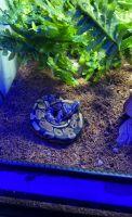 Ball Python Reptiles for sale in Dallas, TX, USA. price: NA