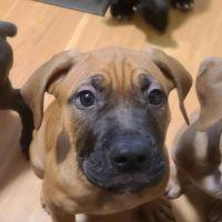 Bandog Puppies for sale in Joliet, IL, USA. price: NA
