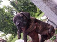 Bandog Puppies for sale in Suffolk, VA, USA. price: NA