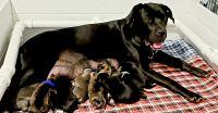 Bandog Puppies for sale in Nixa, MO 65714, USA. price: NA