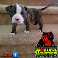 Bandog Puppies for sale in Las Vegas, NV, USA. price: NA