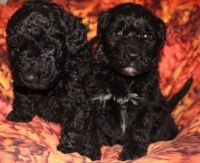 Barbet Puppies for sale in Seattle, WA 98103, USA. price: NA