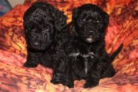 Barbet Puppies for sale in California St, San Francisco, CA, USA. price: NA