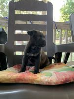 Barbet Puppies for sale in Sanford, NC, USA. price: NA