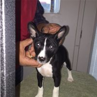 Basenji Puppies Photos