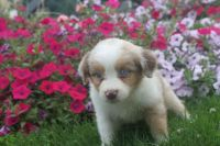 Basque Shepherd Puppies for sale in Atlanta, GA, USA. price: NA