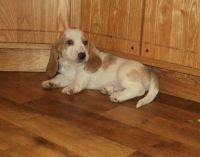 Basset Hound Puppies for sale in Mountain View, CA, USA. price: NA