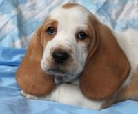 Basset Hound Puppies for sale in Columbus, GA 31997, USA. price: NA