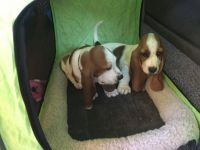 Basset Hound Puppies for sale in Madison, IN, USA. price: NA