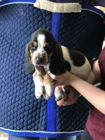Basset Hound Puppies for sale in Ohio Township, OH, USA. price: NA