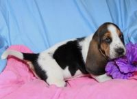 Basset Hound Puppies for sale in Carlsbad, CA, USA. price: NA