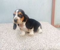 Basset Hound Puppies for sale in Walnut, CA, USA. price: NA