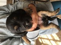 Basset Hound Puppies for sale in Benson, NC 27504, USA. price: NA