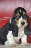 Basset Hound Puppies for sale in Los Angeles, CA 90012, USA. price: NA