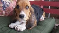 Basset Hound Puppies for sale in Decatur, IL, USA. price: NA