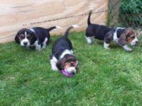 Basset Hound Puppies for sale in Austin, TX, USA. price: NA