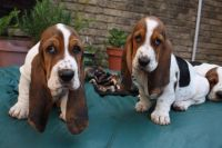 Basset Hound Puppies for sale in Seattle, WA, USA. price: NA
