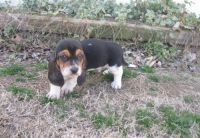 Basset Hound Puppies for sale in Jacksonville, FL, USA. price: NA