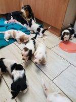 Basset Hound Puppies for sale in Pittsburgh, PA, USA. price: NA