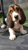 Basset Hound Puppies for sale in Massachusetts Ave, Cambridge, MA, USA. price: NA